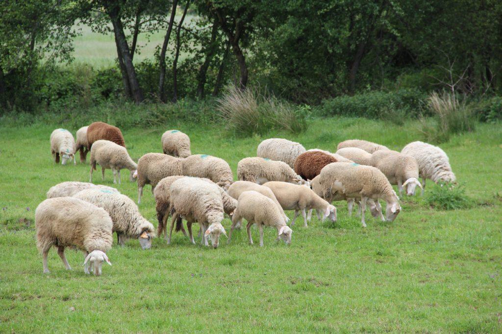 ovelhas num pasto verde no campo